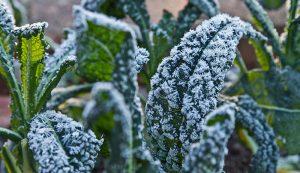 frost fall winter crops kale