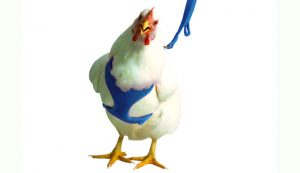 chicken harness products