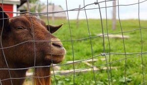 goats livestock natural disaster hurricane