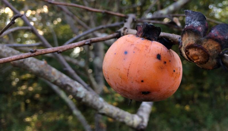 persimmon October farm