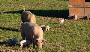 pigs hogs livestock shelter housing