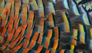 feathers wild turkey