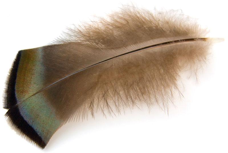 wild turkey feathers semiplume feather