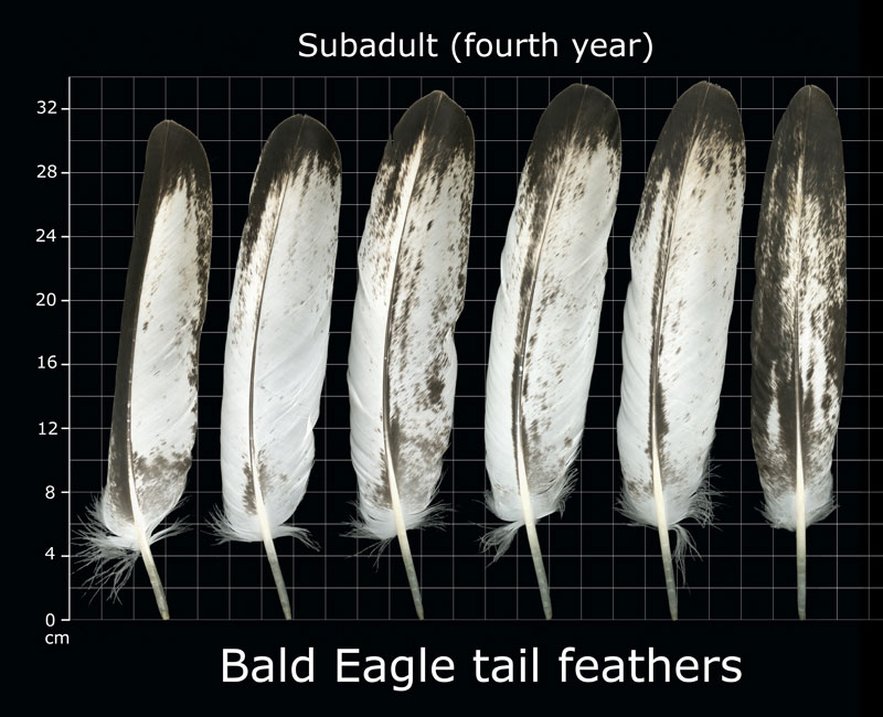 bald eagle feathers
