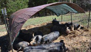pigs hogs shade huts