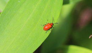 lily leaf beetles
