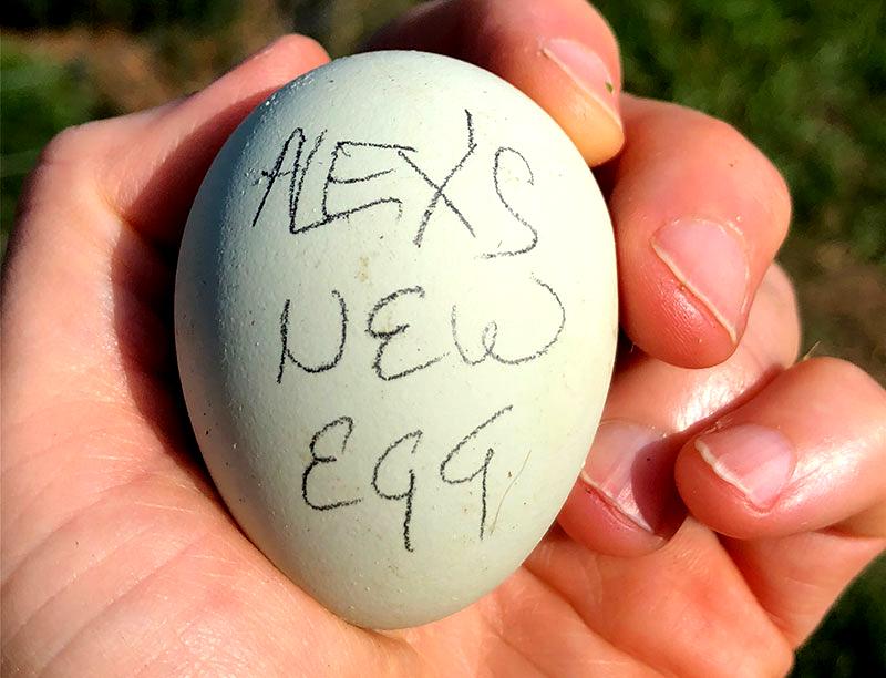 broody hen hens egg eggs