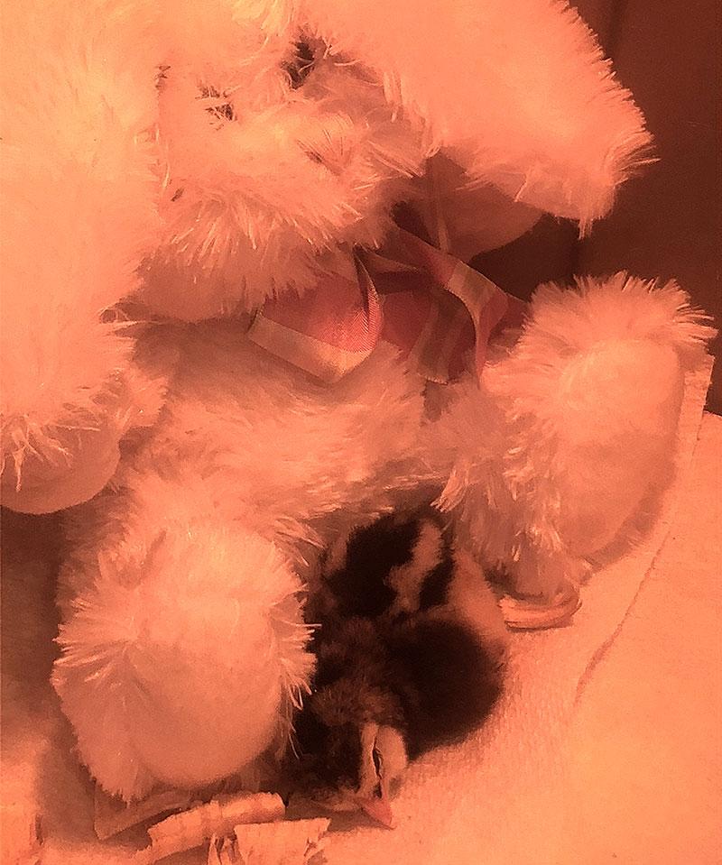 broody hen hens chick chicks bunny