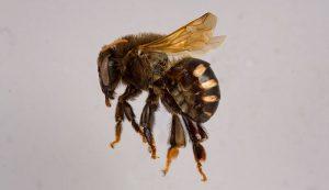 stingless honeybee bee Melipona