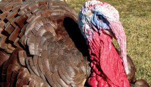 turkey breeds bourbon red