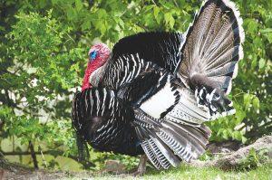turkey breeds narragansett