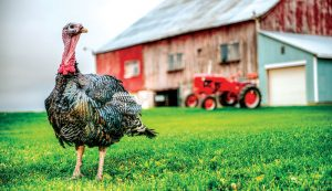 turkey poultry types breeds