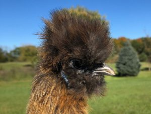 chicken beak trim trimming