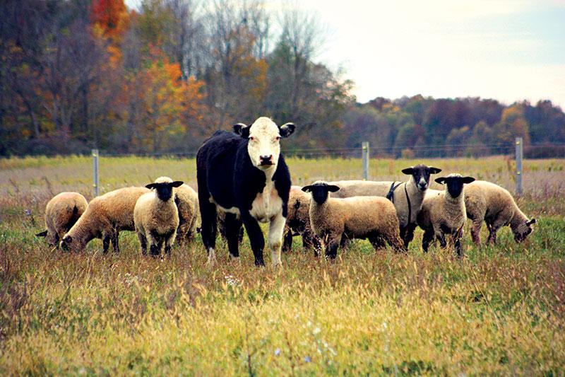 livestock photos cow sheep