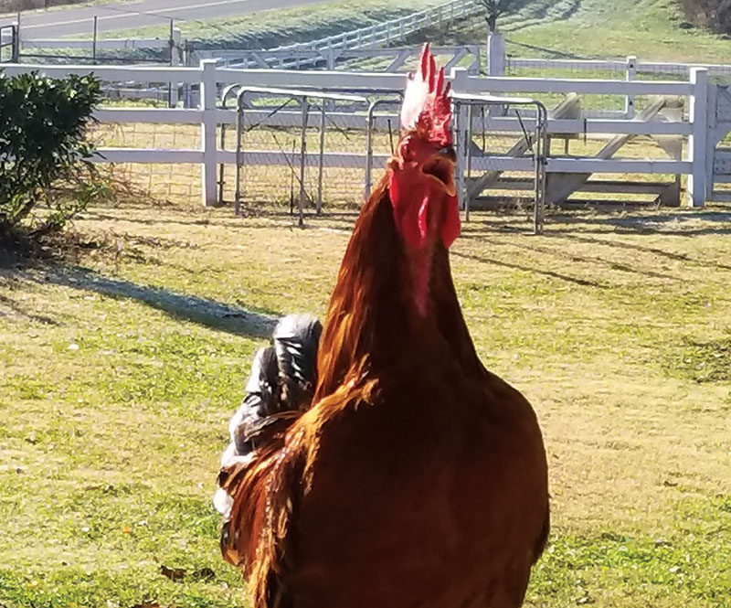 livestock photos rooster