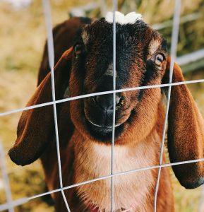 livestock photos goat