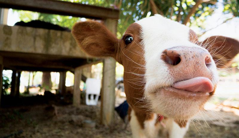 bottle calves feeding raising calf