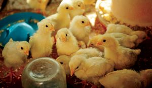 chicks pullets chickens eggs laying layers