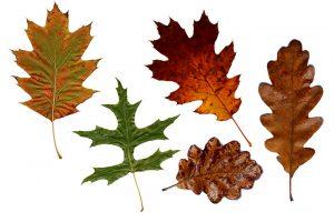 oak leaves trees nuts acorns mast years