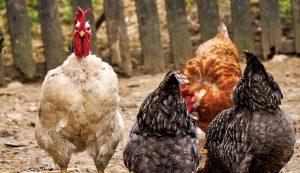 chicken health chickens