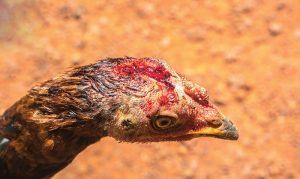 Shutterstock chicken health chickens
