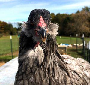 chicken photos photographs ameraucana