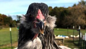 Ana Hotaling chicken photos photographs