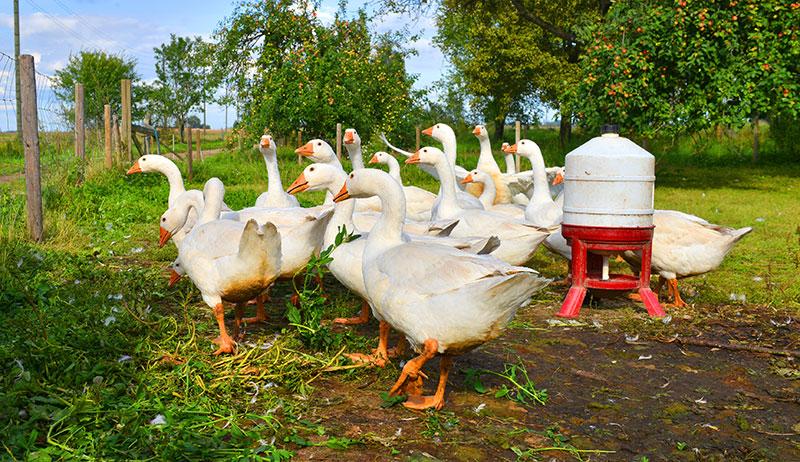 flocks birds geese