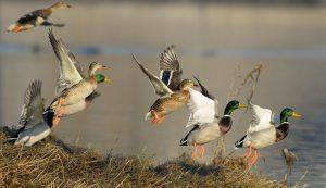flocks birds ducks