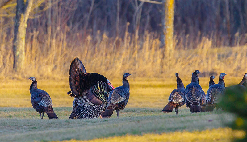 turkeys wild turkey flock