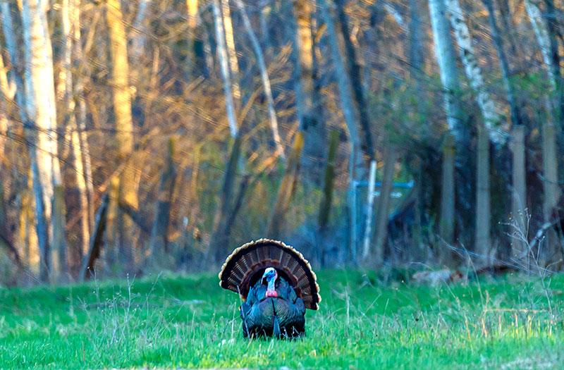 turkeys turkey tom wild