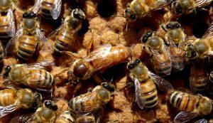 queen bee bees honeybees