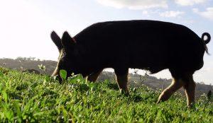 boars pigs boar tusks