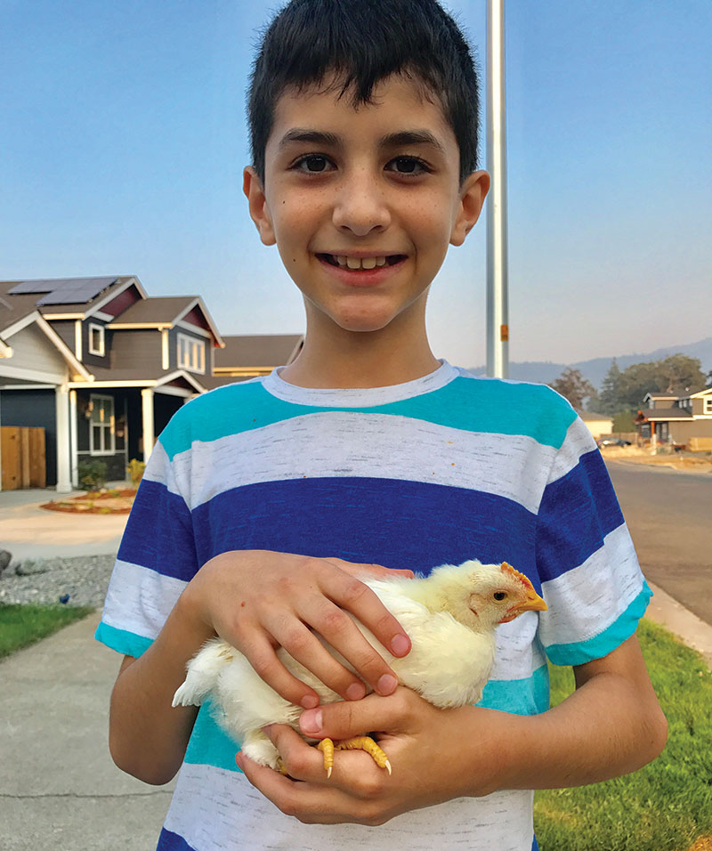 boy pullet chick chicken