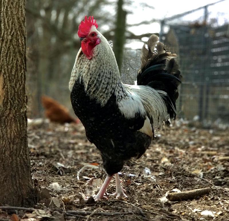 chicken photos chickens photo