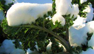 kale winter garden gardening