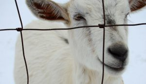 goats winter cold weather