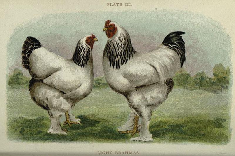 light brahmas historic chicken illustration