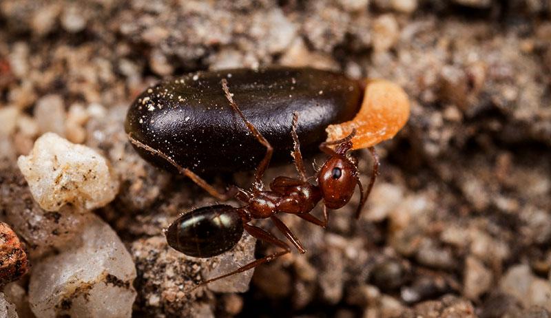 ants seeds