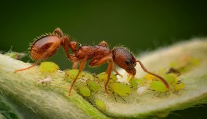 ants aphids