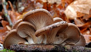 oyster mushrooms Forest Products