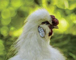 chicken combs walnut comb