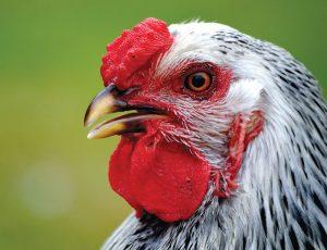 chicken combs comb