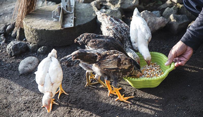 chickens feeding feed nutrition poultry farming