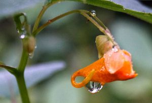 jewelweed seeds gifts