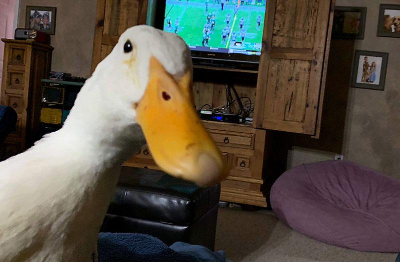 indoor poultry duck