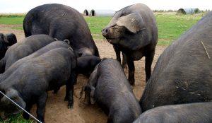 slow pork large blacks pigs hogs