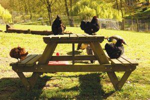 Shutterstock free-range chickens