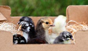 chicks heritage breeds
