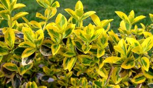 broad-leaved evergreens